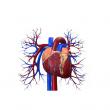 Fillér utcai Szakrendelő (Pulzus Központ) - Kardiológia